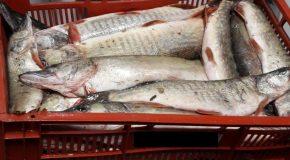 Aproape 300 de kilograme de pește fără documente de proveniență descoperite de polițiști